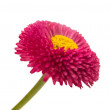 Stock Photo: Marguerite isolated