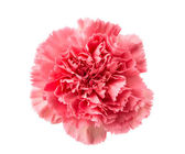 Pink carnation isolated — Stock Photo