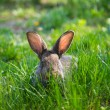 Little gray rabbit — Stock fotografie