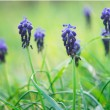 Wild hyacinth — Stock Photo #24764089