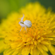 Spider on a dandelion, close-up — Stock Photo
