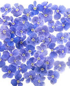 Beautiful blue flowers — Stock Photo