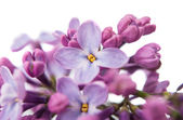 The beautiful lilac — Stock Photo