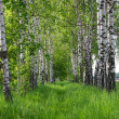 Birch forest. Birch Grove. — Stock Photo #25200329