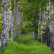 Birch forest. Birch Grove. — Stock Photo #25200495