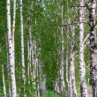 Stock Photo: Birch forest. Birch Grove.