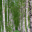 Birch forest. Birch Grove. — Stock Photo #25200701