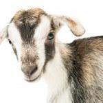 Baby goat head — Stock Photo #25203099