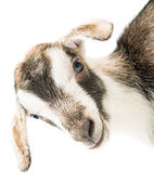 Baby goat head — Stock Photo