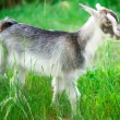 Small goat grazing — Stock Photo