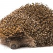 Stock Photo: Hedgehog