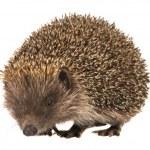Hedgehog — Stock Photo #25211215