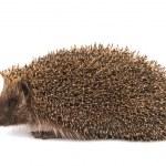 Hedgehog — Stock Photo #25211301