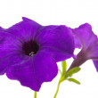 Flower petunia isolated — Stock Photo