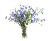 Flax flowers isolated — Stock Photo