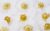 Back lit white windflower — Stock Photo