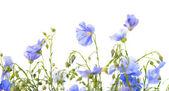 Lniane kwiaty na białym tle — Zdjęcie stockowe