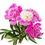Pink peony flower — Stock Photo #25872141