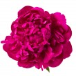 Red peony isolated — Stok fotoğraf