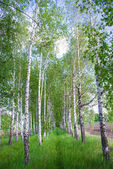 Birch forest. Birch Grove. White birch trunks. Spring sunny — Stock Photo