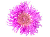 Lilac flower isolated — Stock Photo