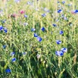 Stock Photo: Background of blooming blue flax