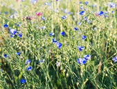 Background of blooming blue flax — ストック写真