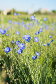 Flores de linho azuis — Foto Stock