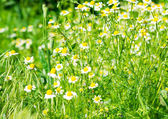 Daisy médicale qui fleurit — Photo