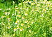 Medische daisy bloeien — Stockfoto