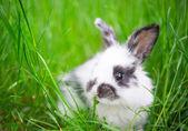 Piccolo coniglio — Foto Stock