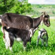 Small goat grazing — Stock Photo #26144023