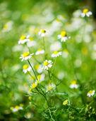 Daisy médica — Foto Stock