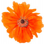 Poppy isolated — Stock Photo #26164313