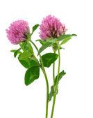 Clover flower isolated — Stock Photo