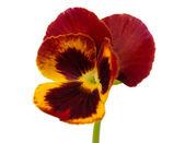 Flor amor-perfeito — Fotografia Stock