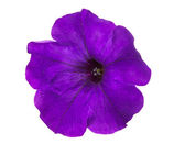 Flower petunia isolated — Stock Photo