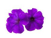 цветок петунии изолированные — Стоковое фото