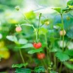 Wild strawberries growing — Stock Photo #26505967