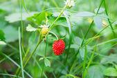 Wild strawberries growing — Stock Photo