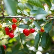 Cherries growing — Stok fotoğraf