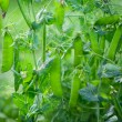Stock Photo: Green peas growing