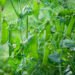 Green peas growing — Stock Photo