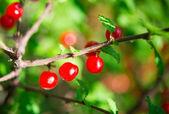 Small cherries — Stock Photo