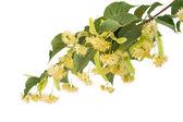 Linden flowers — Stock Photo