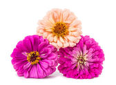 Isolated Zinnia Flower — Stock Photo