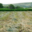 Rows of freshly mown hay — Stock Photo