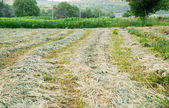 Rows of freshly mown hay — Stock Photo