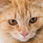 Close up portrait shot of a pet cat — Stock fotografie