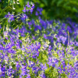 Meadow blue cornflowers — Stock fotografie
